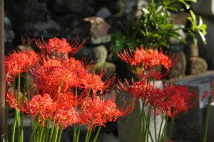 無縁墓の前に咲く彼岸花